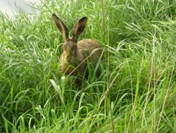 Hare spotted on walk